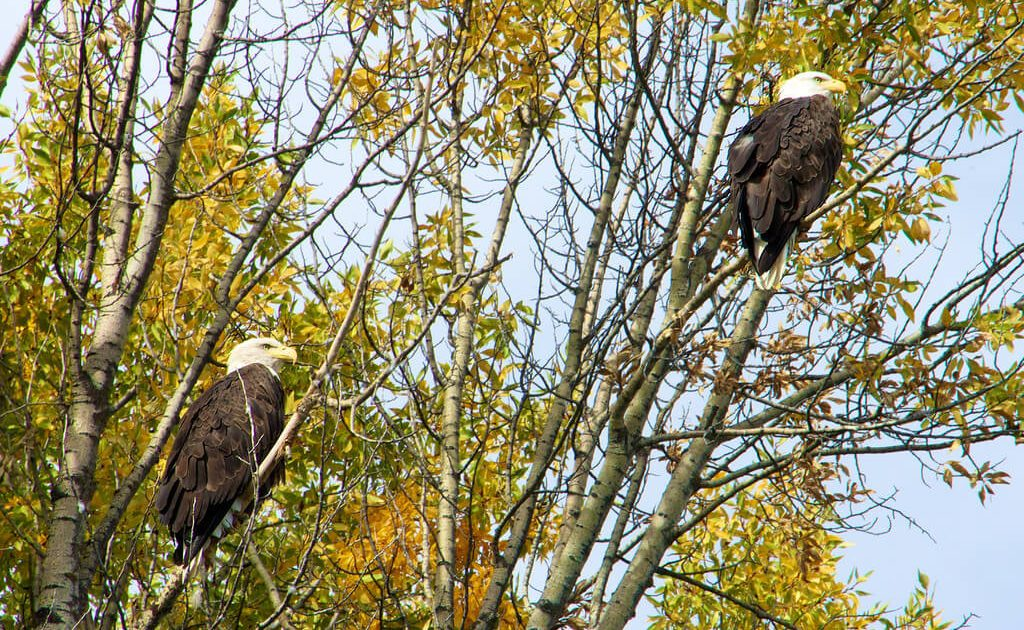 Bald eagles by the Snake River