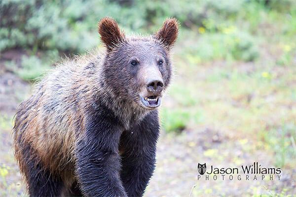 Brown bear in Wyoming