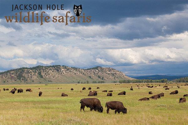 Buffalos in Jackson Hole Wyoming