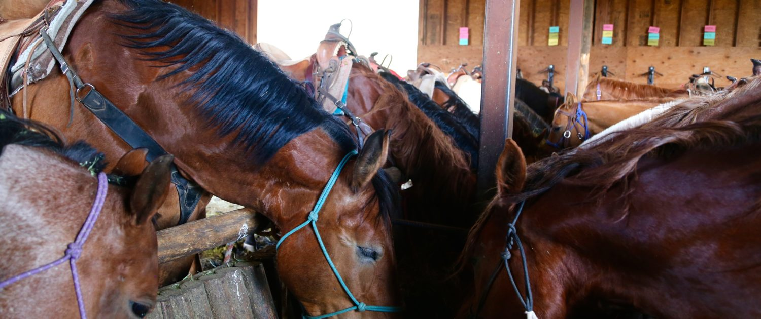 saddled horses in stable eating